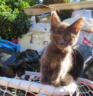 feral cat, SAFARS