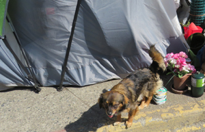 dog on street, SAFARS