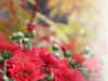chrysanthemums, red