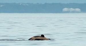 J57, male orca, September 23 2020