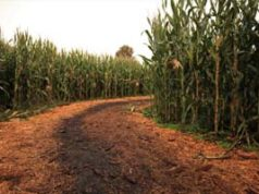 corn maze, Galey Farms, October 2020