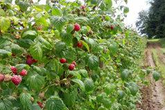 farm, raspberries, BC